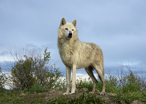 Favorite Photo Places: Howl with the Wolves in Montana