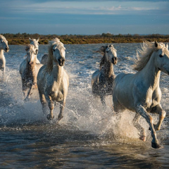 Photographing the White Horses of the Camargue